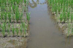 Tanam padi dan pelihara ikan, cara kreatif makmurkan petani