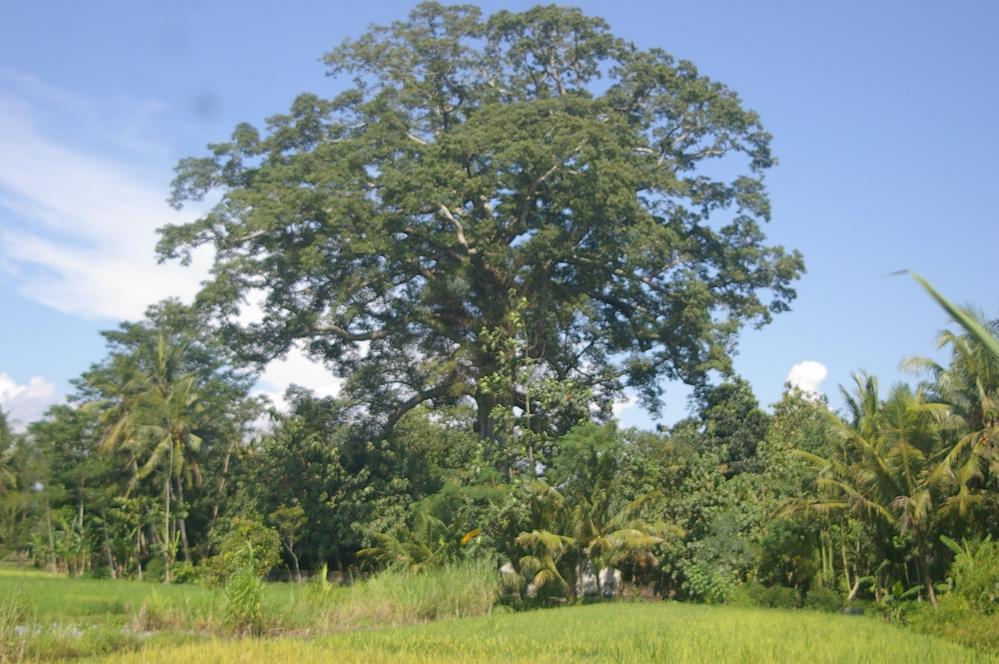 Saking besarnya butuh 20 orang mengukur diameter pohon ini
