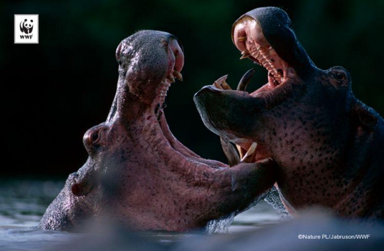 Kuda nil ternyata keluarga dekat dari paus, bukan babi! Ini buktinya