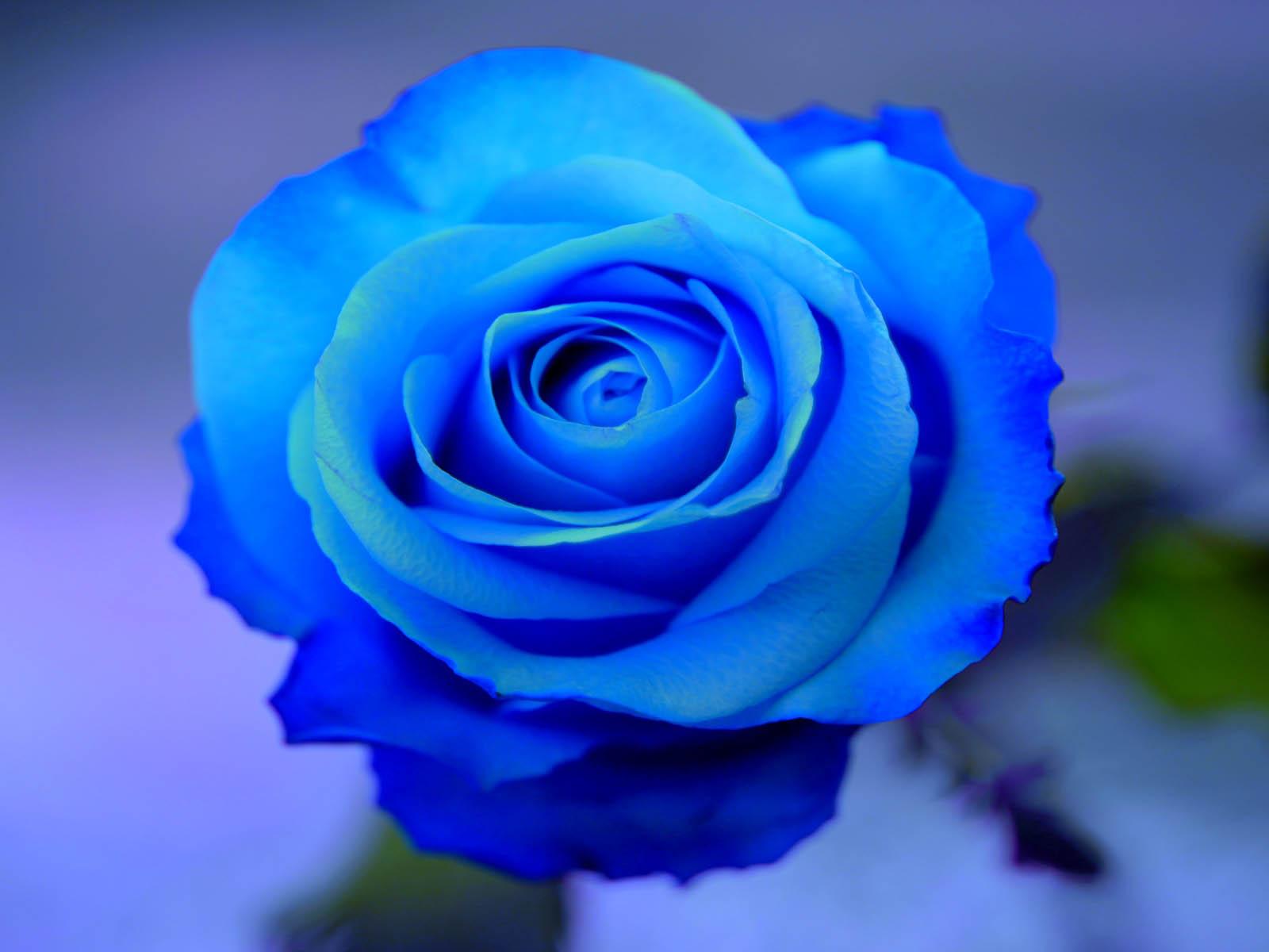 15 Jenis Bunga Mawar Dan Kepribadian Orang Yang Menyukainya