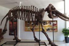Fosil gajah raksasa 1,5 juta tahun lalu ditemukan di Kudus