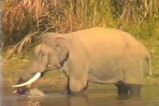 VIDEO: Melihat rekaman ini, kamu bakal ragukan gajah itu herbivora