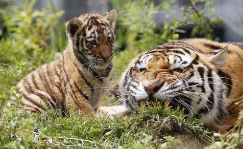 Beda harimau jantan dan betina bisa diketahui dari aumannya