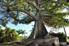 10 Pohon unik & langka yang membuatmu kagum