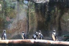 Penguin yang dikenal hewan Kutub, hidup di Jogja pakai AC