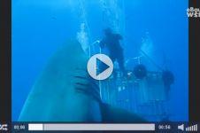 VIDEO: Hiu ini diklaim hiu paling besar dalam sejarah manusia!