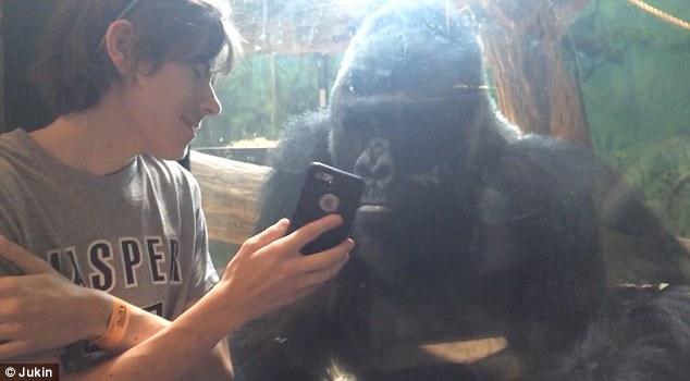 Lucu, ternyata gorila bisa narsis juga!