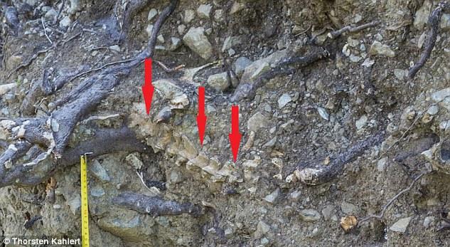 Terkubur 900 tahun di bawah pohon, tulang manusia masih utuh