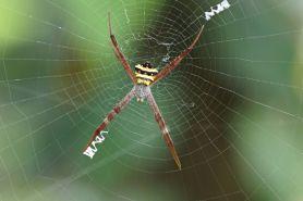 Luka setelah cabut gigi bisa diobati dengan jaring laba-laba