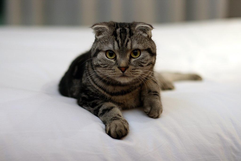 Ini 8 kucing termahal dunia, unik dan dijamin bakal bikin kamu gemes!