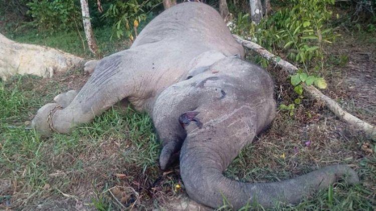 Gajah Yongki dibunuh & dicuri gadingnya, netizen marah!