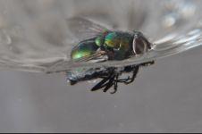 Penjelasan ilmiah lalat harus dicelup semua jika ingin aman bakteri