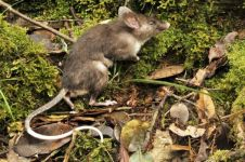 Spesies baru tikus ditemukan di Indonesia, punya hidung mirip babi!