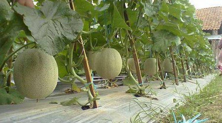 Haus main sepeda, curi melon ditangkap warga