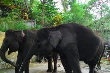 Kisah pawang gajah, ditabrak gajah yang ia mandikan 3 kali sehari