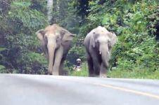 Gara-gara suara motor berisik, kumpulan gajah keroyok pengendara motor