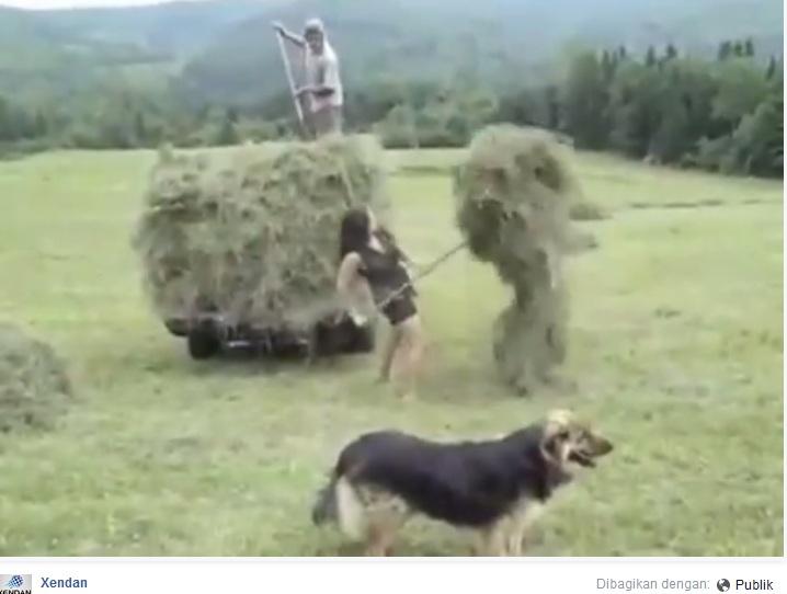 VIDEO: Gadis cantik ini kumpulkan rumput satu truk sendiri, perkasa!