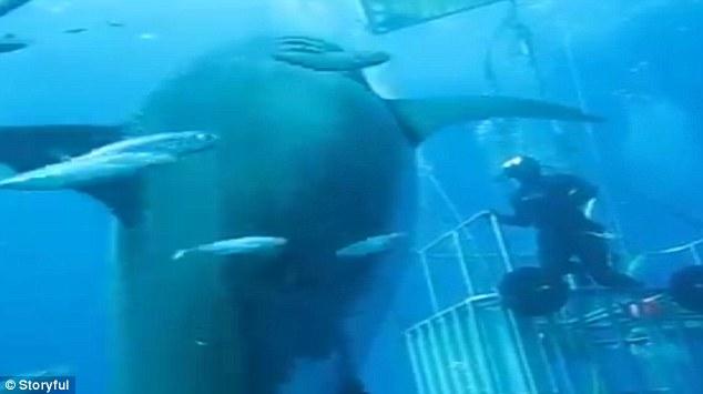 Inikah ikan terbesar di dunia? Bobotnya capai 2,3 ton