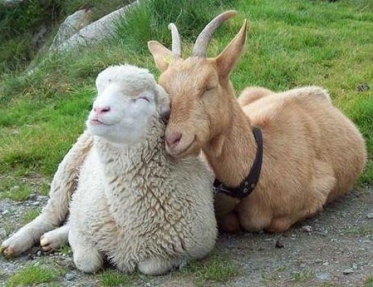 Yang kamu makan itu daging kambing atau domba? Ini dia bedanya