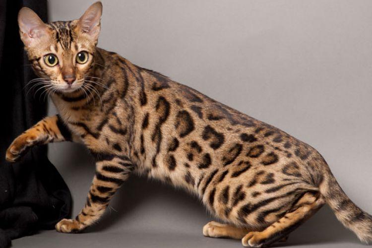 6 Kucing Asli Indonesia Ini Terancam Punah Termasuk Kucing Hutan