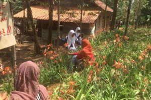 Pengelola taman bunga Amarillys meminta maaf, bunga tak lagi indah...