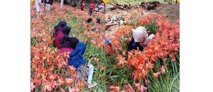 Para perusak bunga Amaryllis ini tidak menyesali perbuatannya