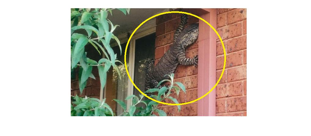 Pria ini temukan kadal raksasa merayap di dinding rumahnya, serem!
