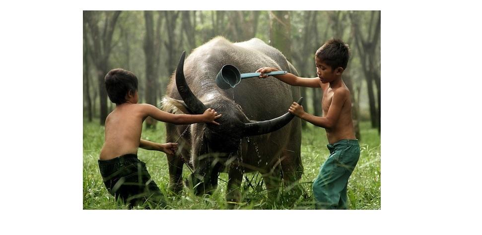 Kerbau Indonesia diprediksi punah di tahun 2031, kok bisa?