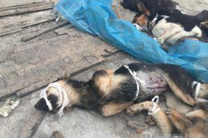 Miris, puluhan anjing disiksa untuk eksperimen medis, netizen murka!
