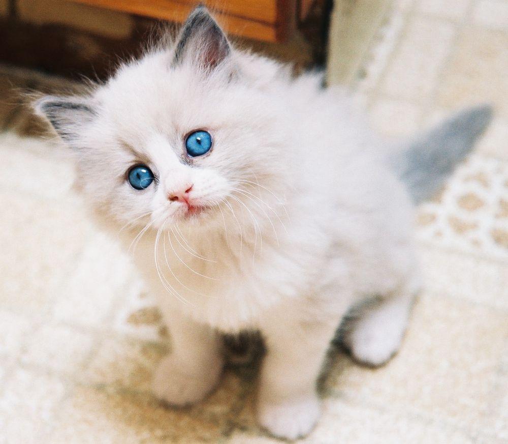 Ini 13 Ras Kucing Paling Lucu Sedunia Kamu Mau Pelihara