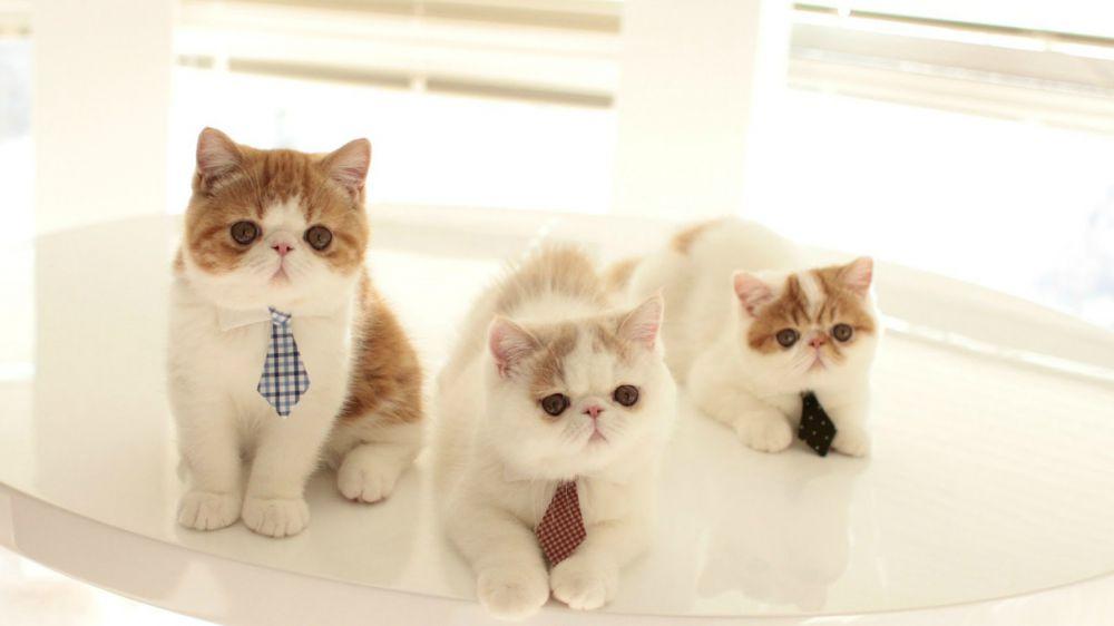 Ini 13 Ras Kucing Paling Lucu Sedunia Kamu Mau Pelihara Yang Man