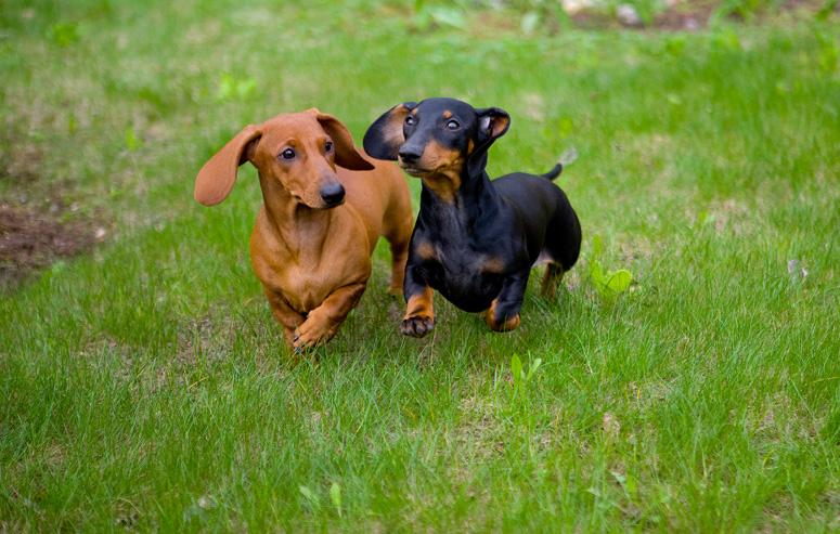10 Anjing mini yang populer dipelihara dan bikin gemas, sumpah imut!
