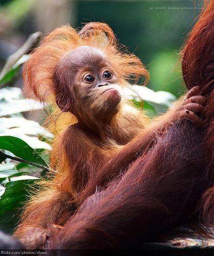 Foto Ekspresi Lucu Bayi Orangutan Bikin Kamu Jadi Gemas Sendiri