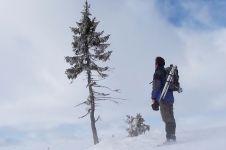 Pohon cemara tertua sejagat umurnya 9.500 tahun, ajaib!