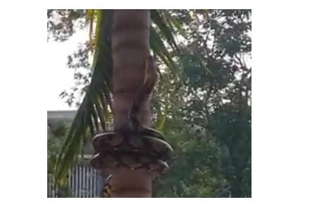 Ular ini dalam hitungan detik masuk pekarangan & panjat pohon, serem!