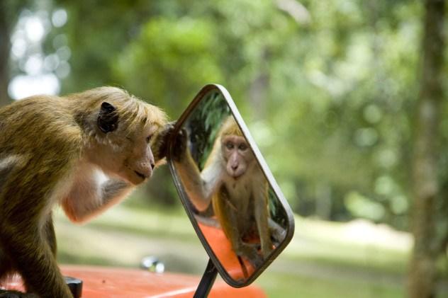 Kawanan monyet kerap mencuri makanan pedagang di Kaliurang, kok bisa?