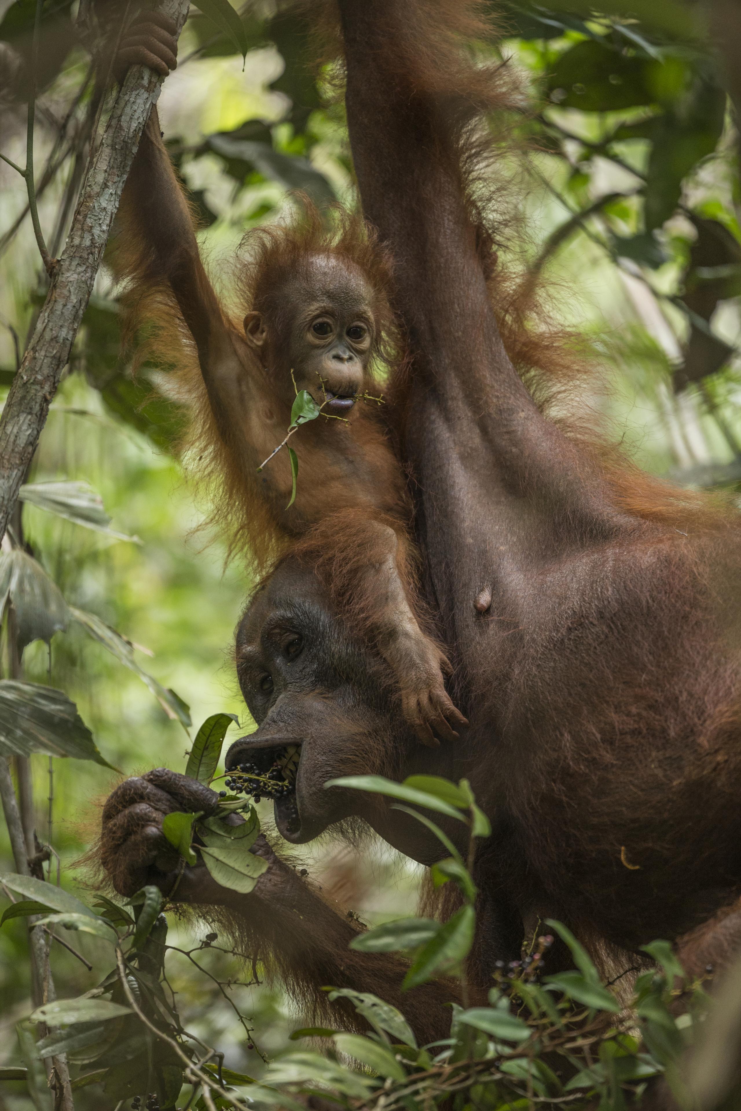 Potret orangutan di hutan terbakar jadi foto jurnalistik terbaik dunia
