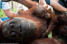 Kisah bayi orangutan tak mau dipisahkan dari ibunya yang kritis