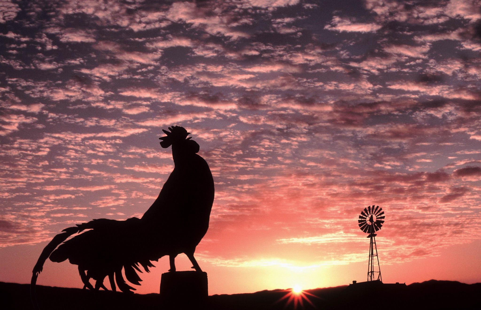Ini alasan ayam jantan selalu berkokok di pagi hari