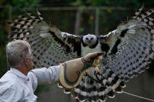 Ini dia Harpy, jenis burung elang terbesar dan terkuat di jagad raya