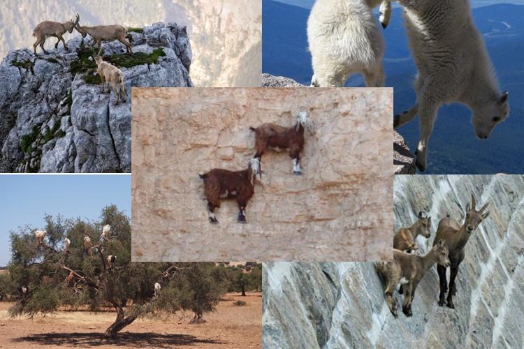 22 Foto 'gila' yang tunjukkan kalau kambing gunung itu hewan pemberani