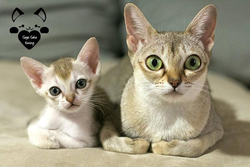 15 Tingkah lucu kucing dewasa dan kembarannya ini bikin gemas