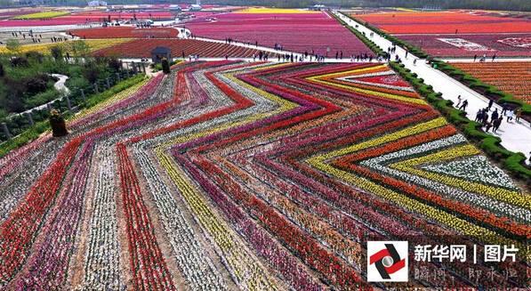Hamparan bunga tulip ini bak karpet hidup, bikin pengen selfie di sana