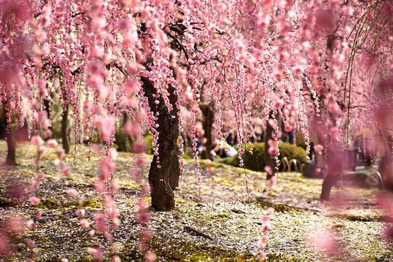 25 Foto bunga sakura di musim semi tahun ini, wow banget!