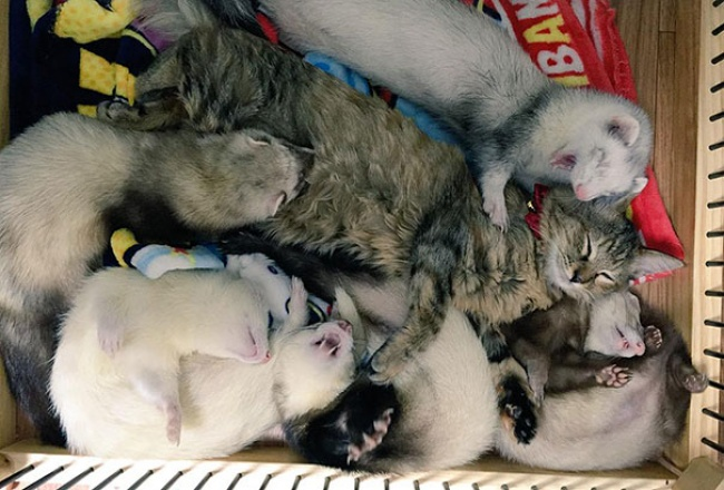 Diasuh keluarga musang,  kucing ini merasa jadi 'musang'  kok bisa ?