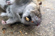 Seorang pria menangkap tikus sebesar bayi manusia, bikin geger!