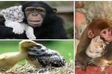 30 Foto hewan ini tunjukkan kasih sayang tak pandang perbedaan, keren!