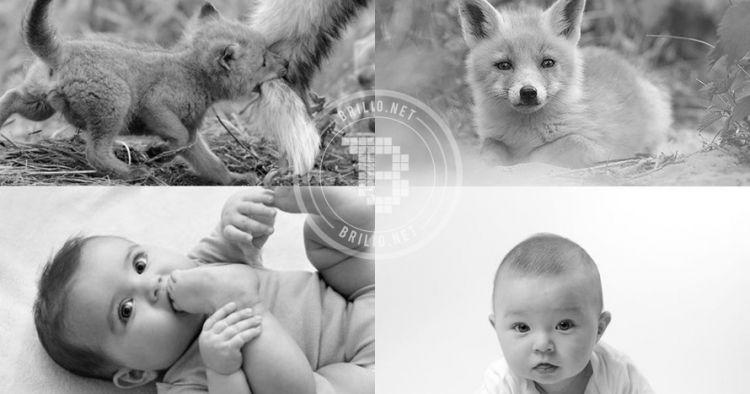 10 Foto ini buktikan kalau bayi rubah sama lucunya dengan bayi manusia