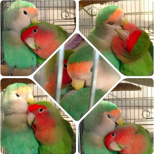 Gambar Burung Lovebird Lucu Gokil
