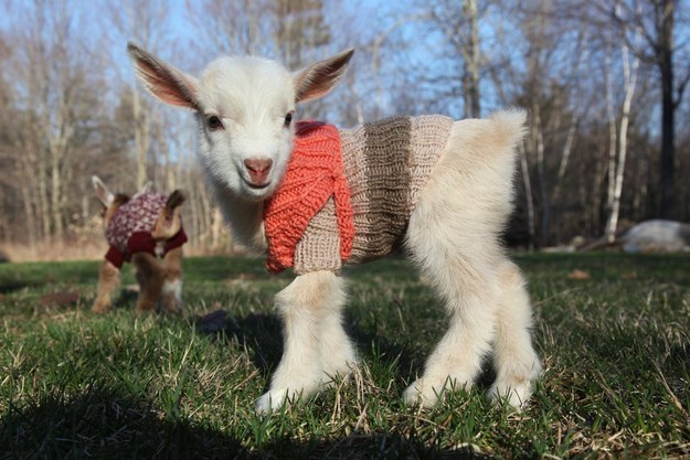 3 Anak kambing pakai sweater ini lucu banget, bikin gemas yang lihat!